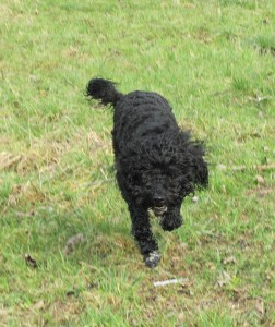 Barbet_French80213a