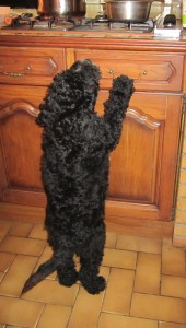 Barbet_Vennie_size
