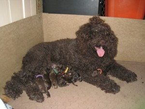 Barbet_Vegas_pups2013Nov