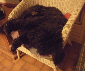Barbet_relax1