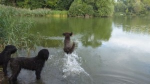 Barbet_water_retrieve3