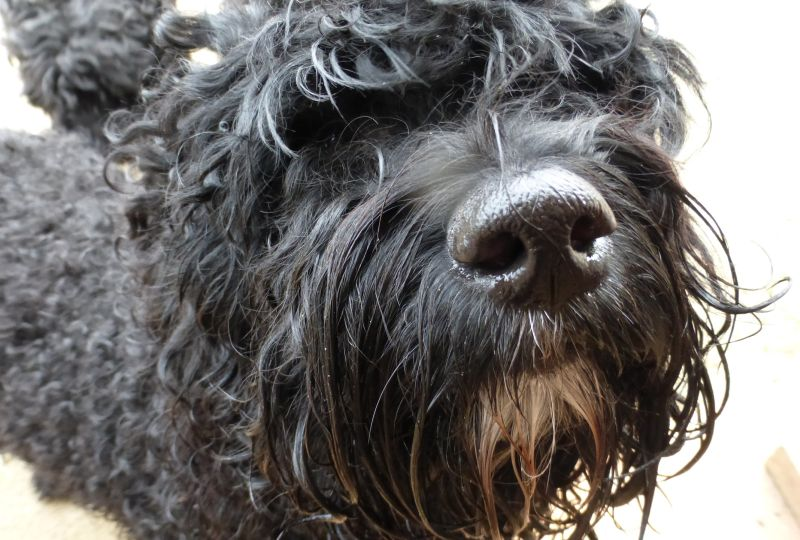 Barbet_Froguette_nose-sm