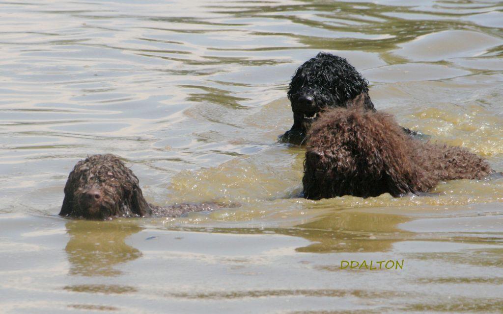 3waterdogs_Barbet_DDsm