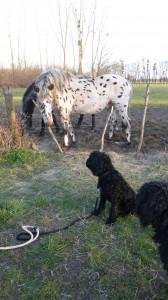 Barbet_Iabada_horse