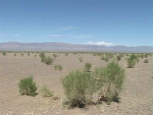 Saxaul_in_Gobi_desert