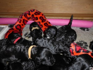 Barbet_puppies210815a