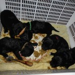 Barbet_pups_basket