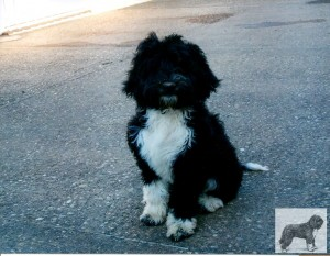 Barbet_Compay_pup079