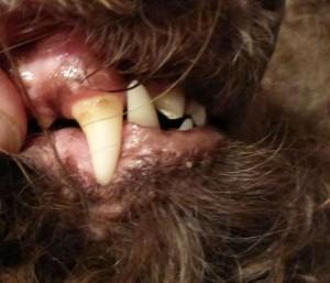 Barbet_teethGG