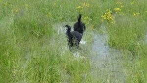 Barbet_waterdog6